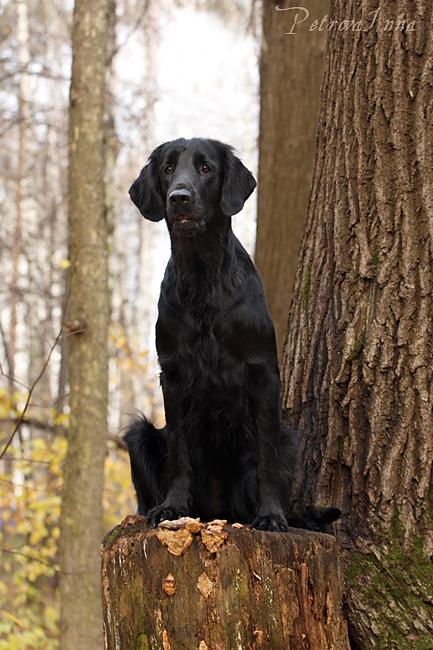 The Dog Collection №61 Прямошерстный ретривер